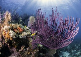 Coral Reef diving in Caribbean